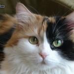 gatta-pezzata-sguardo-di-gatta-224065